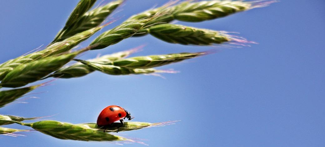 ladybug-1470629_1920